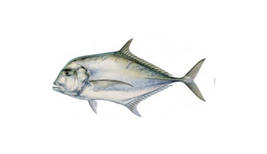 pompano african